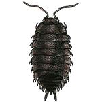 Schädlingsbekämpfung & Insektenschutz gegen Asseln: neocid.swiss