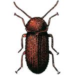 Schädlingsbekämpfung & Insektenschutz gegen Brotkäfer: neocid.swiss