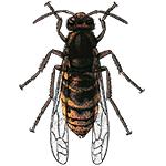 Schädlingsbekämpfung & Insektenschutz gegen Hornissen: neocid.swiss