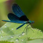 Insektenbestimmung mit neocid.swiss: Prachtlibelle