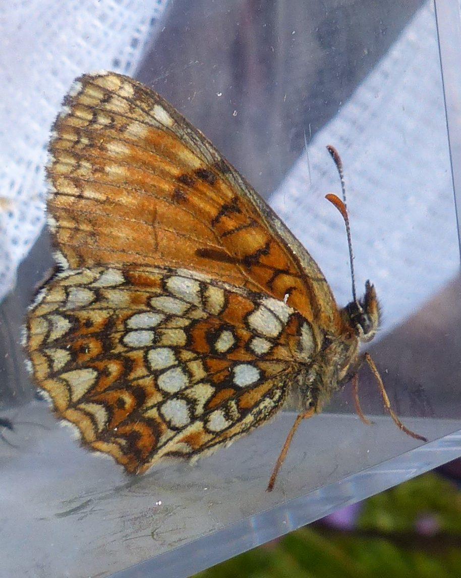 Insektenbestimmung mit neocid.swiss: Tagfalterinventar