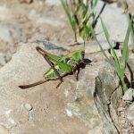 Insektenbestimmung mit neocid.swiss: Warzenbeisser